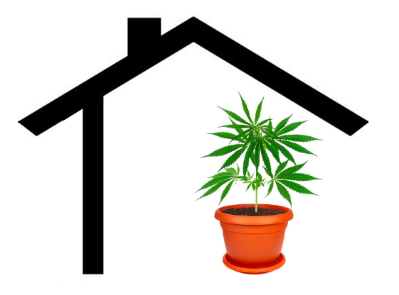 Marijuana Plant Inside a House